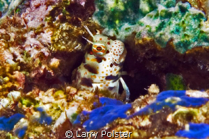 Unusual freckle face blenny. D300-60mm by Larry Polster 
